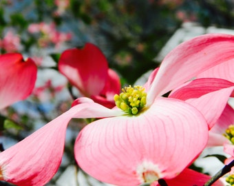 Pink Flower Photography, Flowering Tree Photography, Floral Photography, Home Decor, Photo by Abby Smith, Wall Art, Floral Decor,