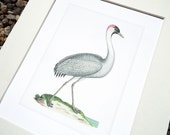 White Crane 4 with Pale Blue Water Fine Art Archival Print