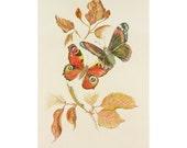 Atalanta and Peacock Butterfly