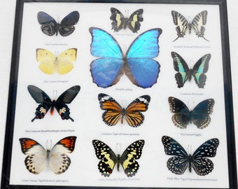REAL 12 Mix Butterflies Framed for Sale Wall Decor Collectible Specimen Display Insect Taxidermy Extra BLUE MORPHO Didius /B03H