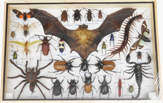 REAL Multiple INSECTS BEETLES Bat Scorpion Spider Centipede Taxidermy Collection in wooden box/big size/is07a
