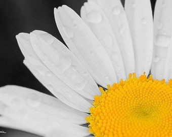 Daisy, PRINT Black and White Flower & yellow, Fine Photo Home Room Decor Wall Artwork Dew water drops Print Still Life green Picture