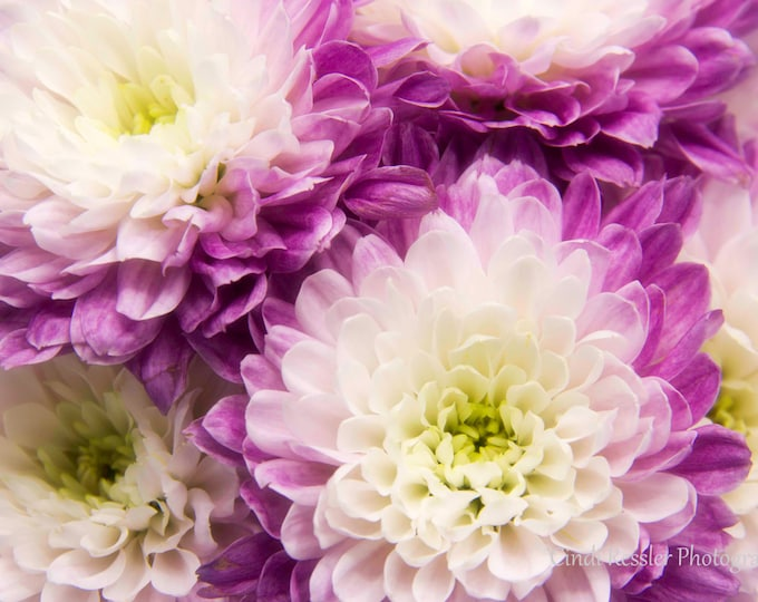 Purple & White Mums, Photography,  Floral Photography, Nature Photography, Macro Photography, Flower Photography