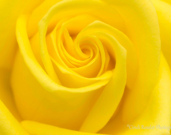 Yellow Rose, Photography,  Flower Photography, Floral Photography, Nature Photography, Botanical, Fine Art Photography