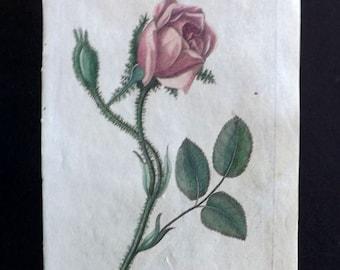 Dr. Robert Thornton 1812 HCol Botanical Print. Moss Rose.