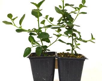 "9GreenBox - Ceanothus Griseus Horizontalis ""Yankee Point"" Plants - 2 pack"