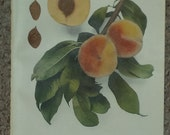 Vintage early 20th century Lithograph FITZGERALD PEACHES book illustration