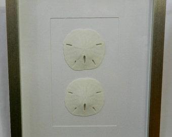 Florida Keyhole Sandollar MELLITA QUINQUIESPERFORATA Framed