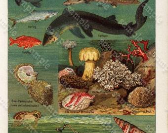 Antique Natural History Print Ocean- Fish- Crabs- Shells and more original