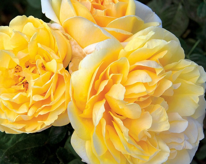 Michelangelo ™  Rose Bush - Lemon Fragrance Reblooming Yellow Rose - Easy To Grow Plant - Grown Organic Potted Own Root