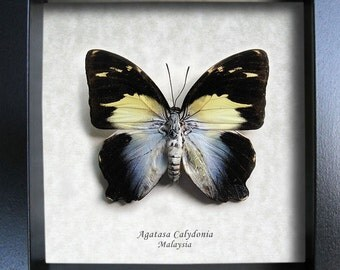 Agatasa Calydonia Glorious Begum Real Butterfly In Museum Quality Shadowbox