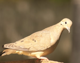 Instant Download Mourning Dove - Digital Photo - Digital Animal Photography - Digital Bird Photography - Digital Mourning Dove Photography