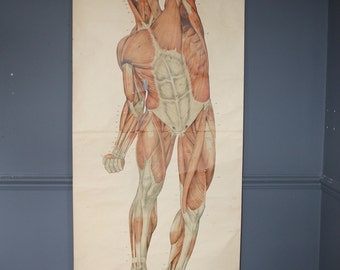 "Early 20th Century Anatomical Chart By Frank Frohse ""Muscles"""