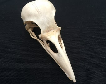 A Genuine Wild English Carrion Crow Skull and a few Crow feathers