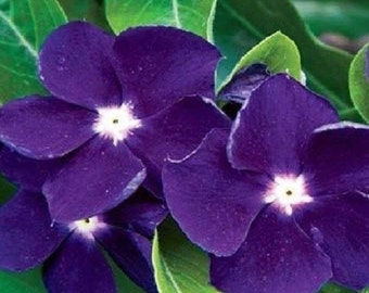 Sun Storm Purple Vinca / Annual Flower Seeds