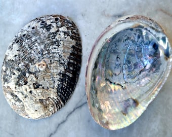 "Mexican Abalone (2pcs.) - (3-4"")"