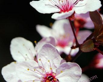 Cherry Blossom Print,  White Blossoms, Cherry Blossom on Black, Prunus Blossom, Photograph, bedroom decor, floral wall art,