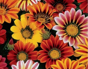 Gazania- Sunshine Mix- 50 Seeds