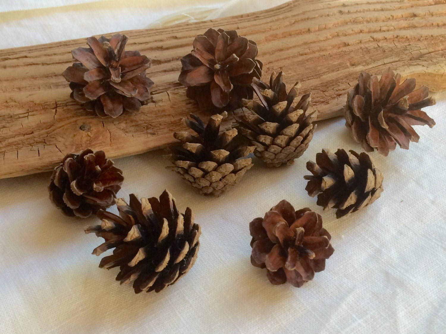 Scotch pine cones lot of 45 small 1 5 inch dry natural for Small pine cone crafts