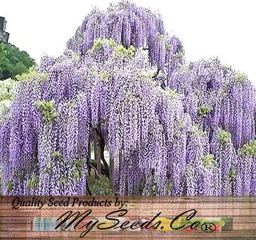 japanese wisteria wisteria floribunda seeds longest flower