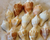 Small Conch shells, seashells, beach decor,crafts