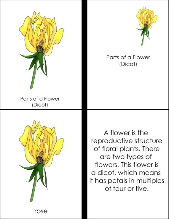 Parts Of A Flower Dicot Montessori Four Part Cards Pdf
