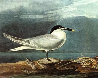 John James Audubon: American Coot. Fine Art Print/Poster (00659)