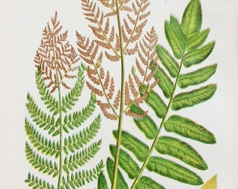 Anne Pratt Antique Fern Print - Flowering Ferns Botanical Print
