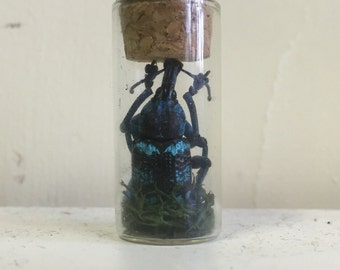 Real Weevil in Glass Vial