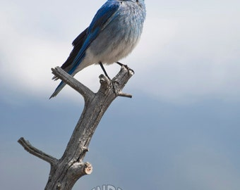 Mountain Bluebird Photo Print