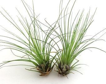 Filifolia tillandsia airplant air plant