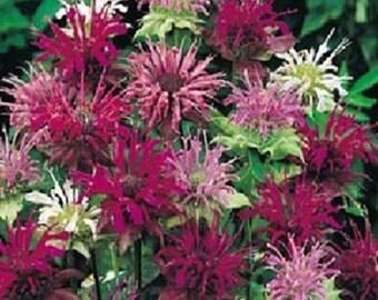Monarda Bee Balm Mix Flower Seeds / Perennial   50+
