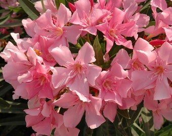 Apple Blossom pink Oleander is very rare, Buy 1 Get 1 FREE. 50 fresh seeds + Fast Shipping