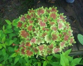 Geranium Pelargonium fancy-leaf geranium