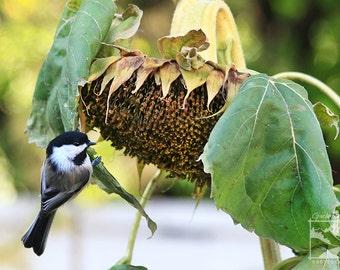 Chickadee, Sunflower – Wildlife, Animal, Nature, Outdoor, Bird, Photography, Home Décor, Wall Art, Picture, Prints, Canvas – Alberta, Canada