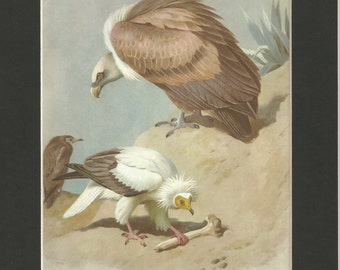 beautiful vintage 1970s  egyptian vulture and griffon vulture bookplate watercolour print by thorburn  .