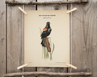 Red Winged Blackbird vintage print, National Park Art, Red Winged Blackbird poster, parks wildlife, scientific illustration, botanical print