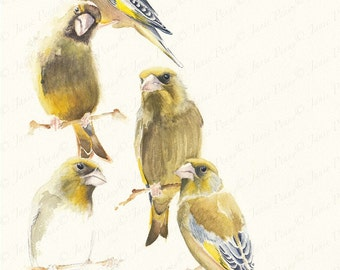 Five Greenfinches