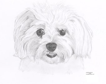 MALTESE dog Limited Edition art drawing print signed by UK artist