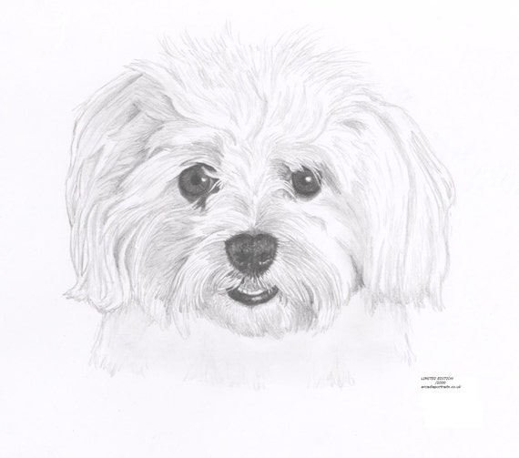 how to draw a shih tzu face step by step