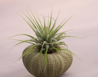 1 Green Sea Urchin with Air Plant, Tillandsia, Seashell, Beach Decor, Seashore