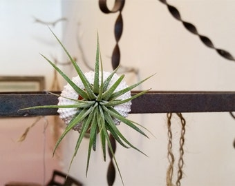 magnet fiesta no.1 //  air plant tillandsia // by robincharlotte