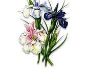 Vintage Flower Prints - English Iris - Wall Art - Collage Art - High Resolution - DIY - No Background - Clipart  - A277