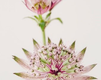 "Flower Photography, Pink Astrantia Flower, Floral Art, Floral Home Decor, Botanical Print, Large Wall Art Nature Print ""Flourish"""
