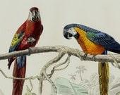 1848 Antique PARROT print.Fine hand colored victorian engraving, exotic multicolored parrots in the jungle,. Original antique