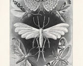 Vintage Ernst Haeckel Tineida Moth Reproduction Print - German Science Plate. Educational Science Diagram Insects Butterflies Chart - CP270