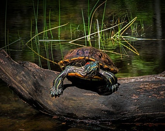Painted Turtle Sunning itself on a Log in a West Michigan Pond No. 9596 A Fine Art Wildlife Photograph