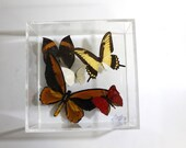 Ornithoptera croesus (Wallace's golden birdwing) repair with four other butterflies