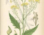 TURKISH WARTYCABBAGE - Vintage Botanical Book Plate 202