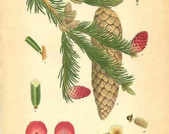 NORWAY SPRUCE - Botanical book plate 495